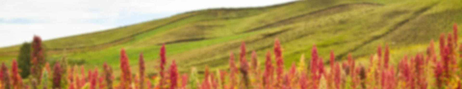 quinoa-bg